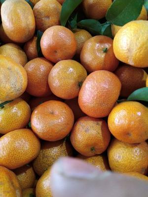 这是一张关于沙糖桔 统货 2 - 3两 的产品图片