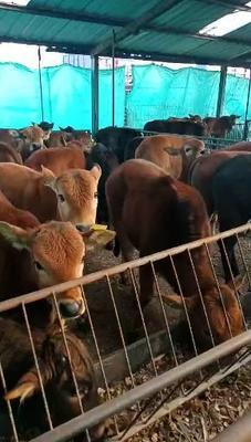 山东省菏泽市郓城县改良肉牛 200斤以下 统货