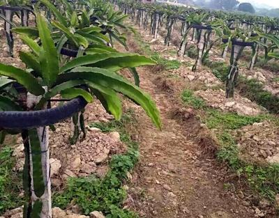 广西壮族自治区南宁市武鸣县火龙果种植用轮胎
