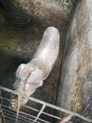 云南省西双版纳傣族自治州勐腊县黑猪  60斤以上 出售黑白猪仔中猪大猪