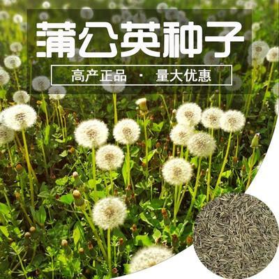 这是一张关于蒲公英种子  蒲公英种子野生食用野的产品图片