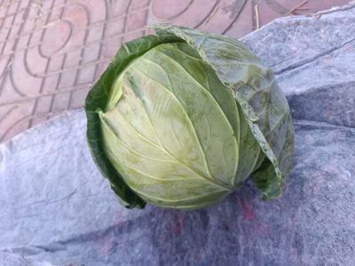 四川省凉山彝族自治州西昌市绿甘蓝 1.0~1.5斤