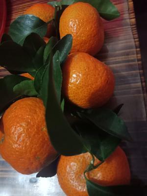 广西壮族自治区梧州市蒙山县沙糖桔 3.5 - 4cm 2 - 3两