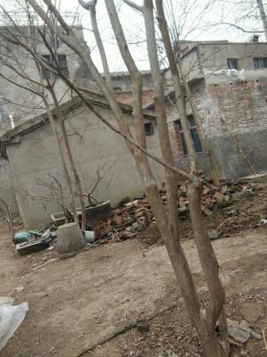 安徽省亳州市谯城区紫薇树