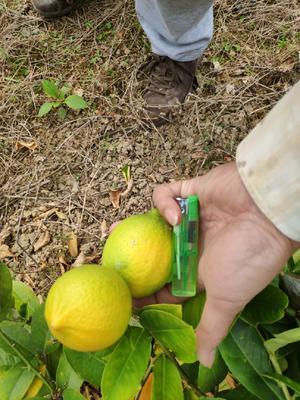 广东省江门市开平市香水柠檬 2.7 - 3.2两