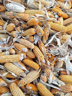 吉林省四平市双辽市玉米湿粮 杂质很少 水份20%-30%