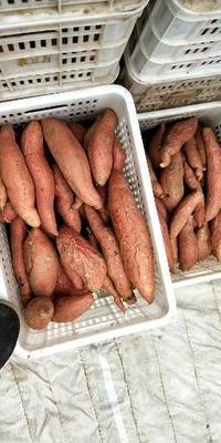 河北省保定市雄县烟薯25 混装通货 红皮
