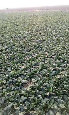 这是一张关于帝沃系列菠菜 10~15cm 的产品图片