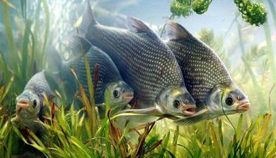 湖北省黄冈市浠水县池塘鳊鱼 人工养殖 1-1.5公斤