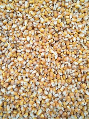 河南省驻马店市新蔡县玉米干粮 净货 水份14%-16%