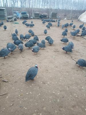 安徽省阜阳市界首市银斑珍珠鸡 2-4斤