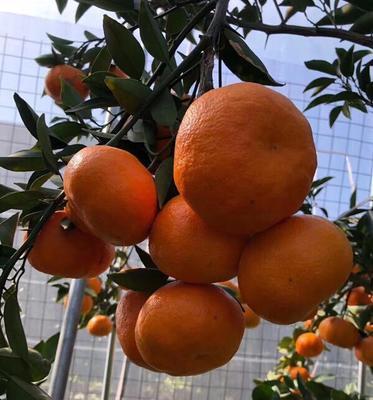 这是一张关于明日见柑橘苗 嫁接苗 0.2~0.35米 的产品图片