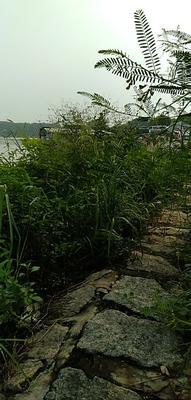 广东省潮州市潮安区野生泥鳅 野生 15cm以上 35尾/公斤