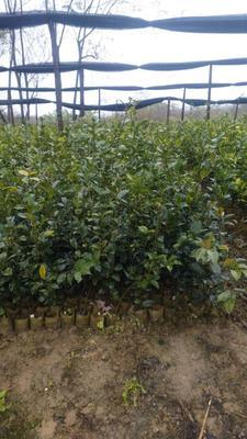 广西壮族自治区桂林市兴安县油茶苗  苗粗根须好价格优惠