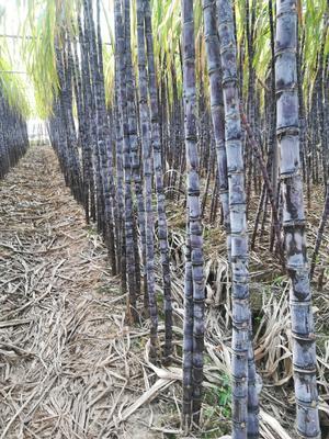 广东省广州市南沙区黑皮甘蔗 6 - 8cm 3m以上