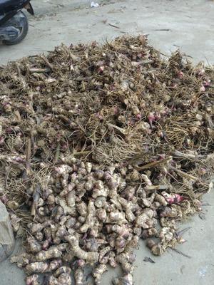 广东省茂名市信宜市芭蕉芋 5cm以上