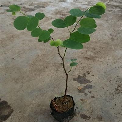 广东省广州市荔湾区宫粉紫荆树  园林绿化观花植物