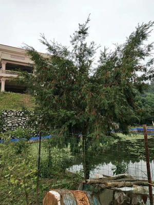 江西省赣州市龙南县南方红豆杉 3~3.5米