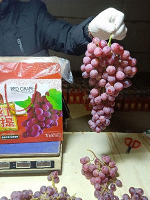 河北省保定市蠡县红提 0.8-1斤 5%以下 1次果