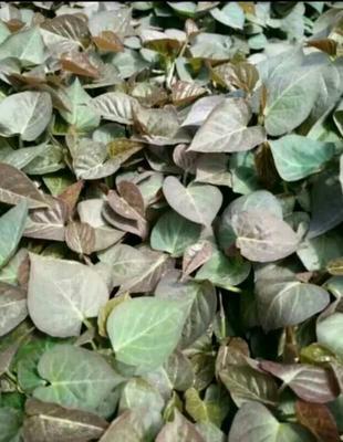 河南省许昌市禹州市烟薯25号红薯苗 15~25cm