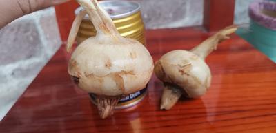 广西壮族自治区贺州市钟山县白肉慈菇 50~70g