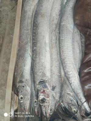 这是一张关于野生带鱼 野生 1-1.5公斤 的产品图片