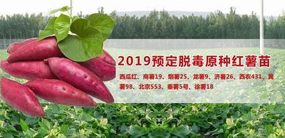 河南省商丘市民权县烟薯25号红薯苗 15~25cm