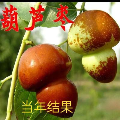 这是一张关于葫芦枣苗 的产品图片