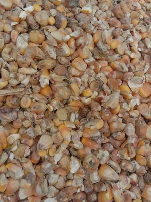 安徽省阜阳市界首市玉米干粮 净货 水份14%-16%