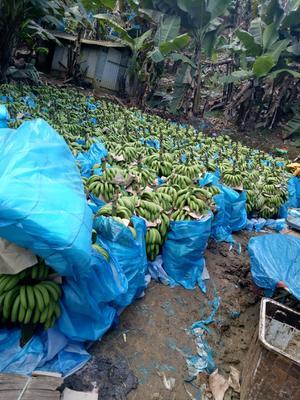 云南省红河哈尼族彝族自治州金平苗族瑶族傣族自治县巴西香蕉 七成熟