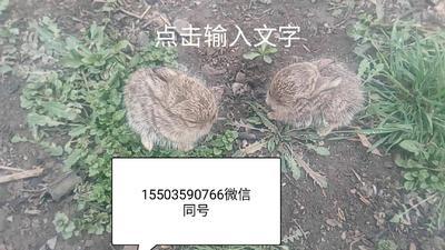 这是一张关于山地野兔 1-3斤 的产品图片