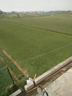 这是一张关于马尼拉草皮 的产品图片