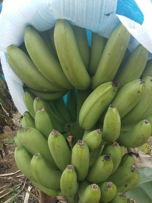这是一张关于广西蕉 七成熟 的产品图片