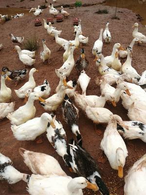 四川省眉山市东坡区花边鸭 4-5斤 统货 全散养