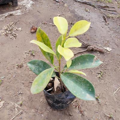 广东省广州市荔湾区黄榕  园林绿化地被植物