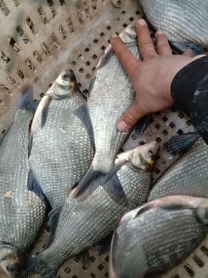 安徽省淮南市潘集区池塘鳊鱼 人工养殖 1-1.5公斤