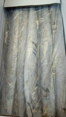 甘肃省兰州市榆中县西非带鱼 野生 1-1.5公斤