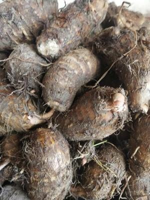 福建省三明市沙县红芽芋 4cm以上