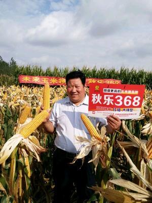 安徽省阜阳市临泉县秋乐368 双交种 ≥95%