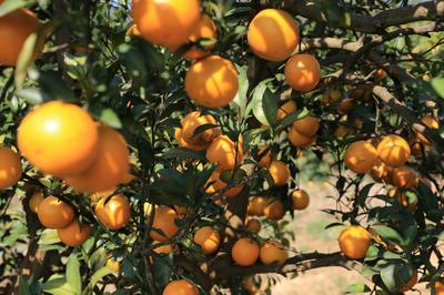 这是一张关于红江橙 55mm以下 4两以下 的产品图片
