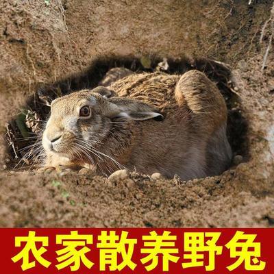 江西省南昌市南昌县野兔 1-3斤