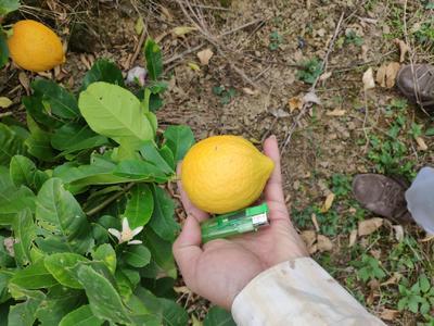 广东省江门市开平市香水柠檬 3.3 - 4.5两