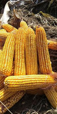 辽宁省铁岭市西丰县玉米湿粮 杂质很少 水份20%-30%