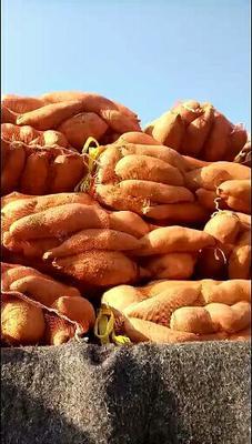 山东省德州市夏津县济薯26号红薯 3两以下 红皮