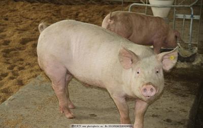 这是一张关于三元猪 160-200斤 的产品图片