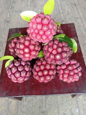广西壮族自治区柳州市融安县粉红黑老虎苗