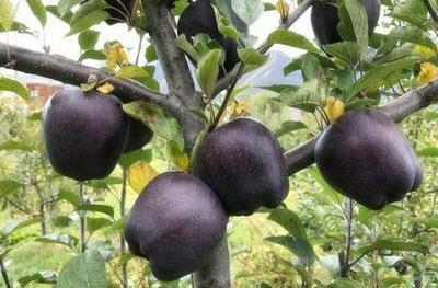 这是一张关于黑钻苹果树苗 1.5~2米 的产品图片
