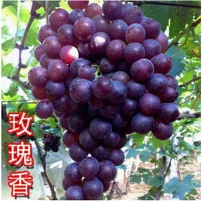 这是一张关于玫瑰香葡萄苗 的产品图片