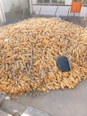 山西省忻州市原平市安单3号玉米粒 杂质很少 水份<14%