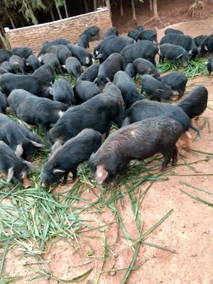 这是一张关于藏香猪 20斤以下 的产品图片